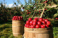 Bulgarian apple producer Company – garden of 350 acres /10 – year history/ in Bulgaria is searching for a Partner or Investor (ROI=40.8%)